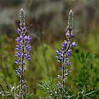 Wild Lupins by CormacEby