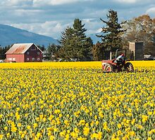 Skagit Valley Daffodil Fields by Jim Stiles