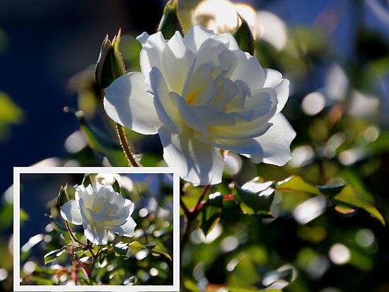 Collage of a White Olde Worlde Rose by alycanon
