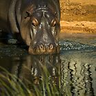 HippO' Hip Hippopotamus by LJ_©BlaKbird Photography