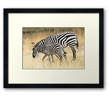 Zebras in the rain Framed Print
