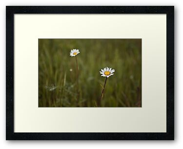Two daisies by Anete Bauere