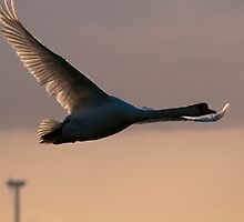 Swan in flight by THHoang