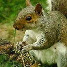 Grey Squirrel by AlvinBurt