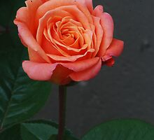 Peach Rose by Mark McReynolds