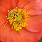 Hot Poppy by cleanweb