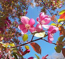 Pink Crabapple Blossoms by MidoriRyu