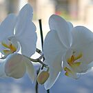 Budding orchids by Maggie Hegarty