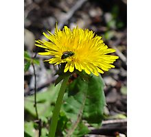 green bee on yellow flower Photographic Print