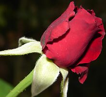 Red Rose by Ali Choudhry