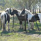 Gypsy Cob Foals by louisegreen