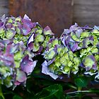 Hydrangea heaven by Sue McGlothlin