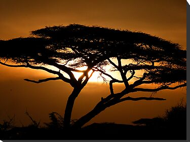 Flat top acacia at sunset by Linda Sparks