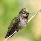 Hummingbird Watch  by Saija  Lehtonen