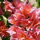 Bougainvillea by KylieB