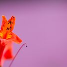 Red Flower on Purple by Greg Ting