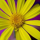 Yellow Flower on Purple by Greg Ting