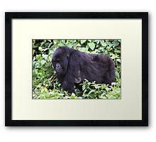 Female Mountain Gorilla Framed Print
