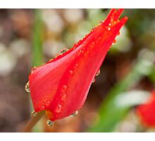 Single red tulip after the rain Photographic Print