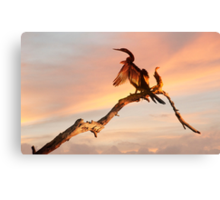 Drying Off - shag at Mareeba wetlands Canvas Print