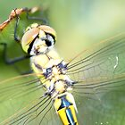 Dragon Eye Fly by David Snailham