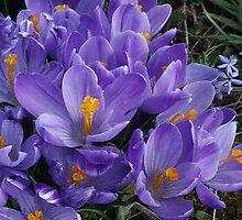 Crocus in Bloom by Sandra Lee Woods