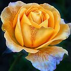 Yellow Rose by Kris Montgomery