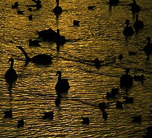 Swans silhouetted as the setting sun turns the water golden.   by Colin Munro