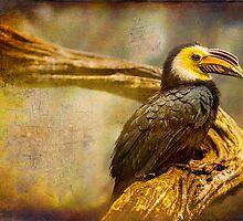 Finer Feathered Friends: Bushy Crested Hornbill by alan shapiro