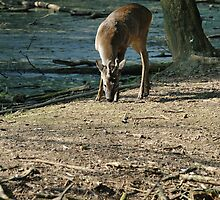 Roe deer by LifePictures