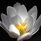Beautiful Blood Root Flower. by mikepemberton