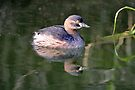 Australian Grebe - Non Breeding by Alwyn Simple