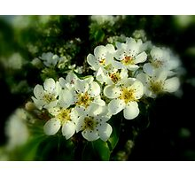 DEAD PEAR TREE BLOSSOMS Photographic Print