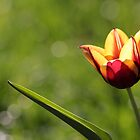 Simply Tulip by Ken Glotfelty