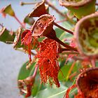 Last blossoms, Western Australia by kate18a