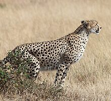 Cheetah Ready for Takeoff by Carole-Anne