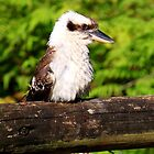 Kookaburra by Truenature