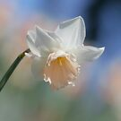 Daffodil, my bosom friend  by Brian Bo Mei