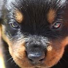 rottie pup by ebonyjane