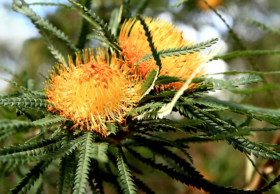 Elusive Banksia by Fizzgig7