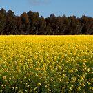 Fields of Yellow by John Sharp