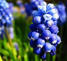Muscari (Grape Hyacinth) by Tracy Friesen