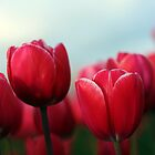 Tulips by AngieBanta