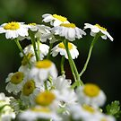 Feverfew by Acutogirl