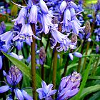Bluebells for Sina by Charmiene Maxwell-batten