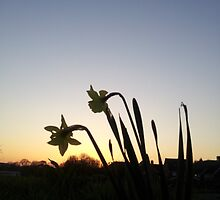 Sunset Daffodils by Hucksty