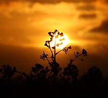 Silhouette Rape flower at sun set by yampy