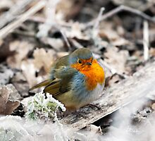 Frosty Robin by Graham Prentice
