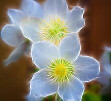 Pasque Flower by Graham Prentice