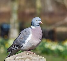 Wood Pigeon Perched On Post by Graham Prentice